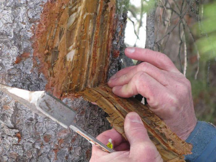 Лечение деревьев от жука-короеда