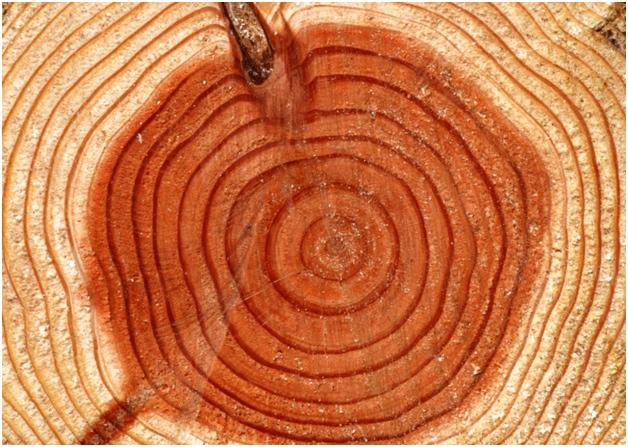 Как определить возраст дерева?